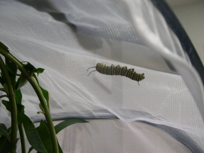 Превращение гусеницы в яркую бабочку (16 фото)