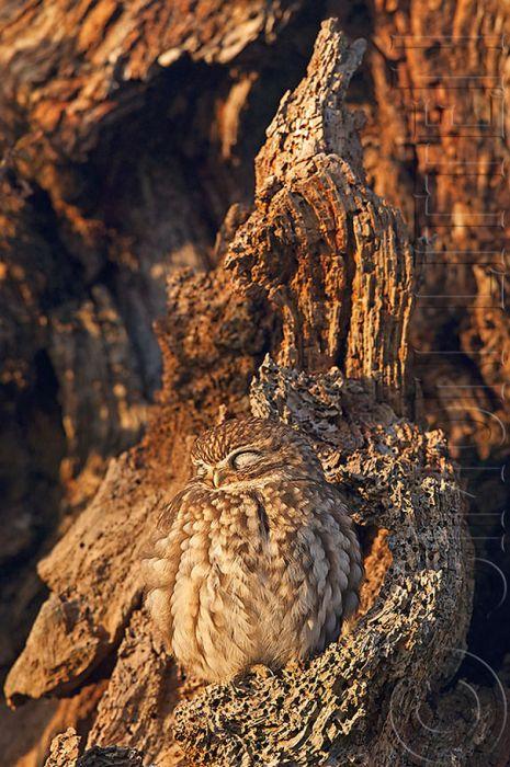 Невероятное умение сов оставаться незамеченными (21 фото)
