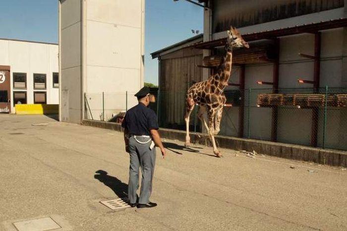 как ловят жирафов