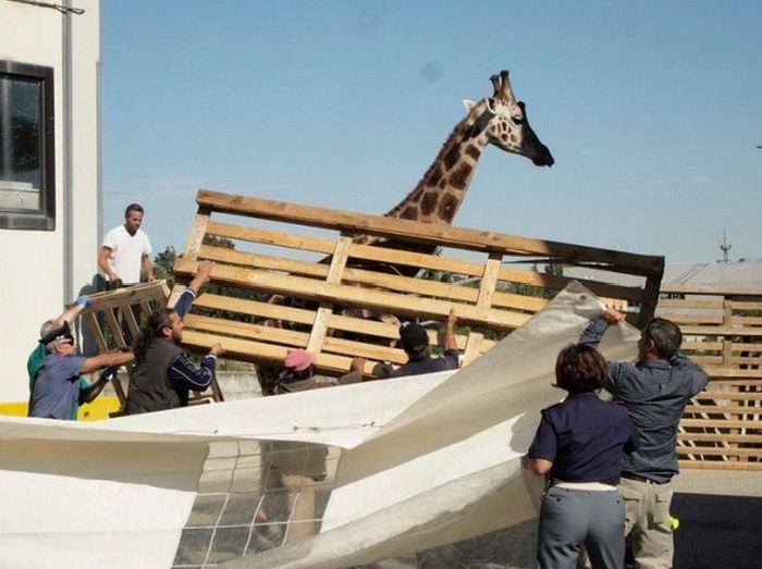 Побег жирафа в Италии (13 фото)