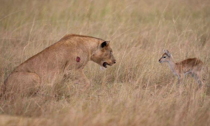 Львица приласкала детеныша антилопы (11 фото)