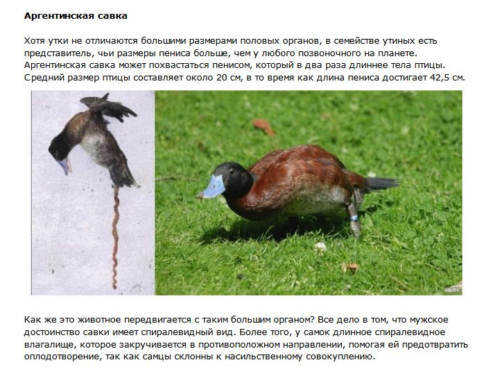Половые гиганты в мире животных (7 фото)