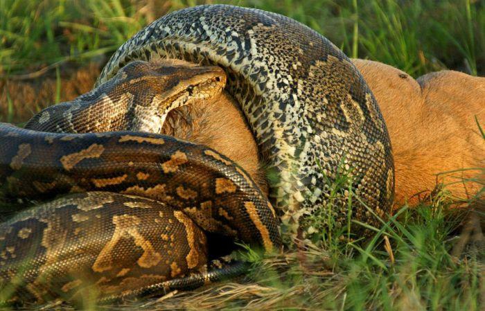 Питон против антилопы (7 фото)