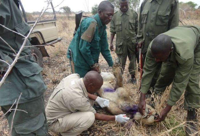 Несчастный лев, который 3 года мучался с капканом на шее (4 фото)