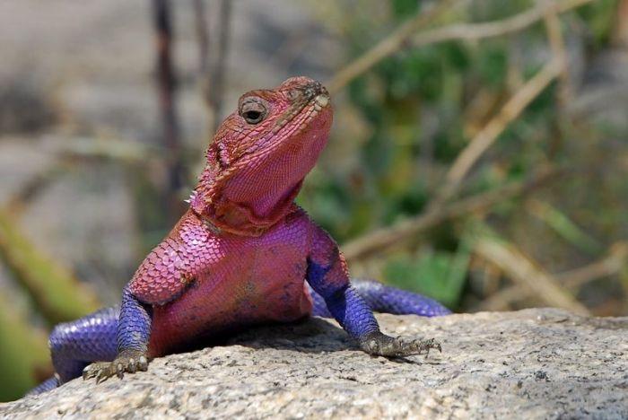 Ящерица, которая стала звездой в мире животных (10 фото)