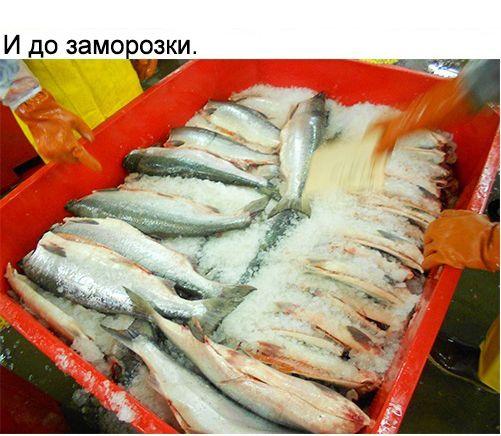 Как русский айтишник отправился работать на рыбзавод в США (25 фото)