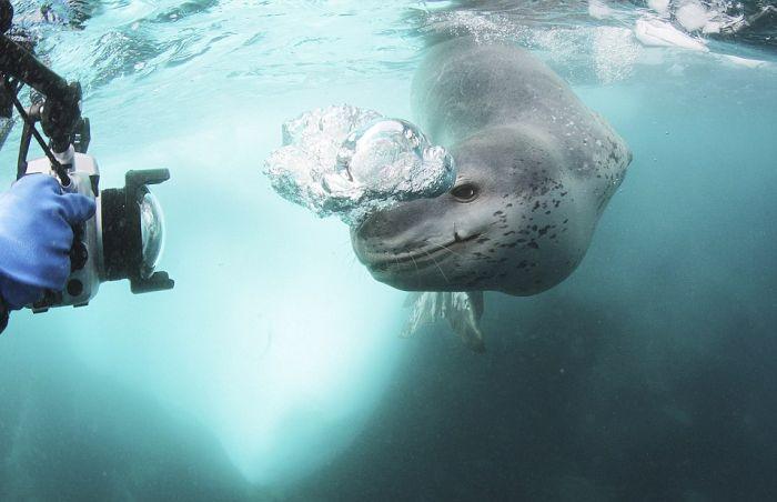 Фатальная встреча с тюленем (9 фото)