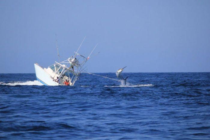 Опасный улов: рыба Парусник против рыболовецкого судна (7 фото)