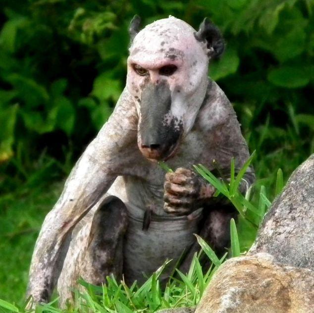 """Редкий вид """"голого"""" бабуина (4 фото)"""