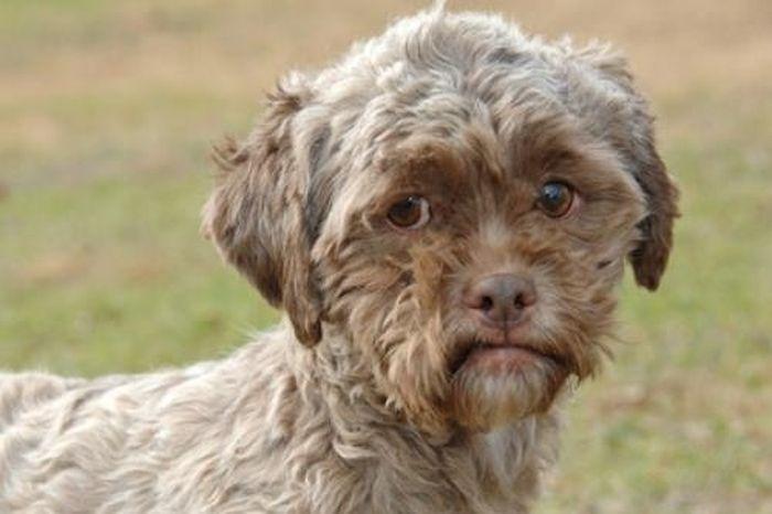 Необычный пес человеческим выражением лица (4 фото)