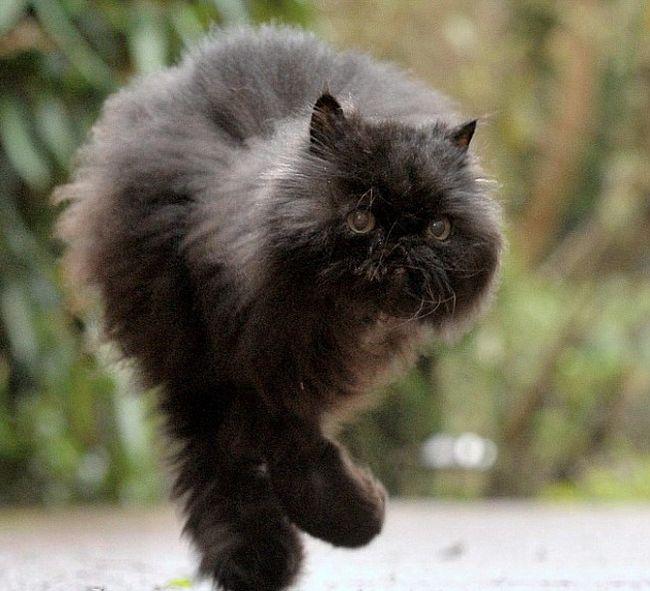 Уникальный кот, который ходит на двух лапах (9 фото + видео)