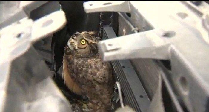 Столкновение совы и автомобиля на скорости 100 км/ч (8 фото)