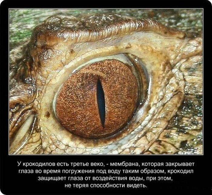 Крокодилы: познавательно и интересно (22 фото)
