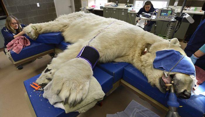 Полярный медведь на приеме у врача (10 фото)