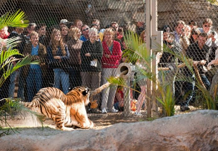 Перетягивание каната. Люди против тигров. (6 фото)