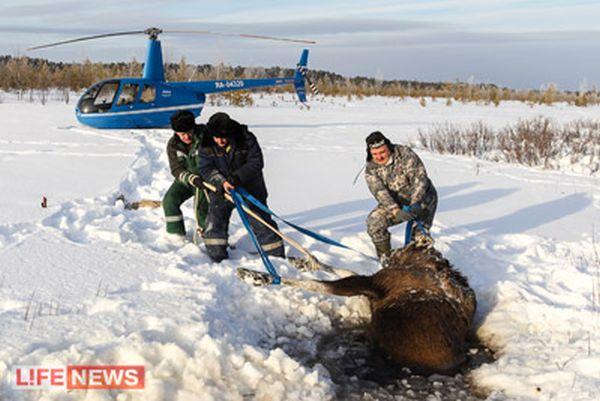 Летчики рисковали своими жизнями, чтобы спасти лосиху (2 фото + видео)