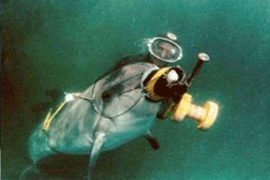 Вооруженные дельфины сбежали из военного океанариума (3 фото)