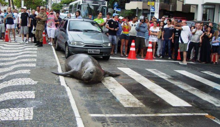 Прогулка морского тюленя по городу (5 фото)