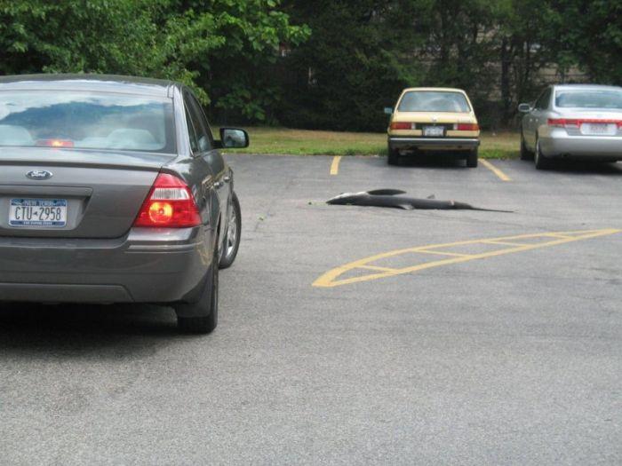 Большая рыба на автомобильной парковке (6 фото)