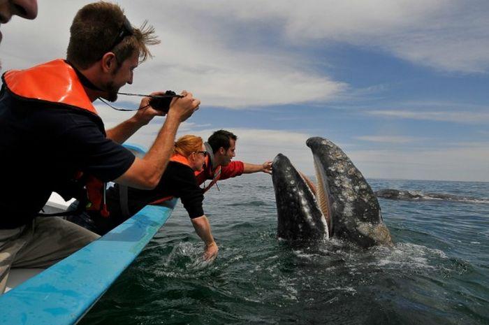 Дружелюбная встреча и поцелуи с китом (21 фото + видео)