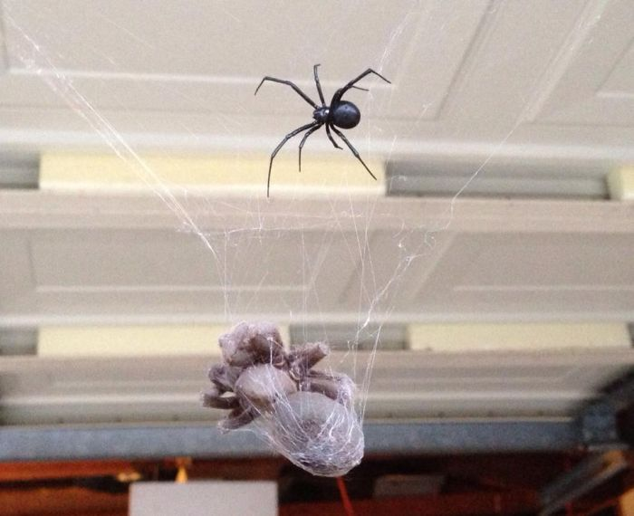 Кто победит в схватке: Черная вдова или тарантул? (3 фото)