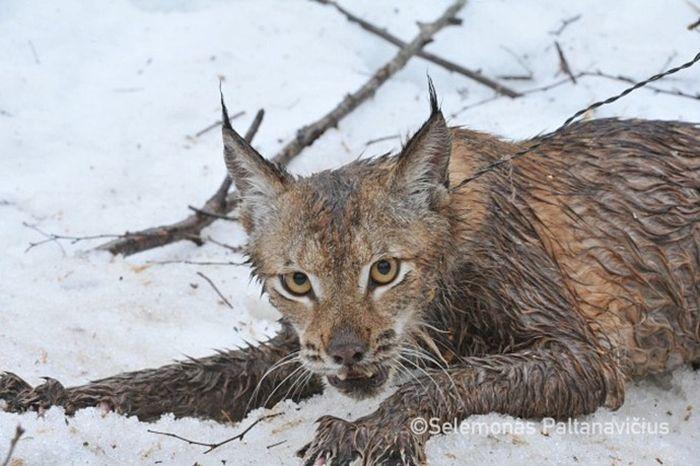 Добровольцы спасли рысь из браконьерской петли (6 фото + видео)