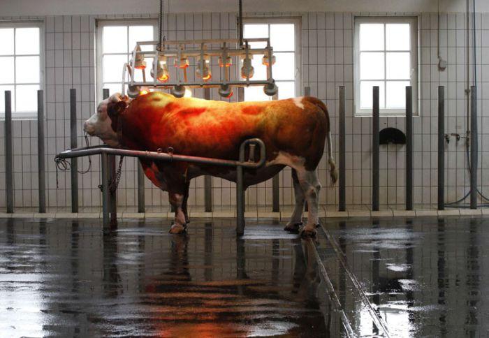 Фотоотчет с центра искуственного оплодотворения крупного рогатого скота (18 фото)