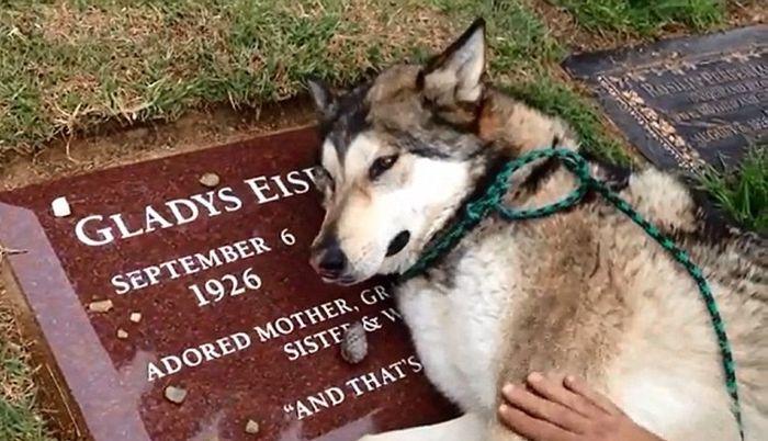 Плачущий волкодав на могиле хозяйки (4 фото + видео)