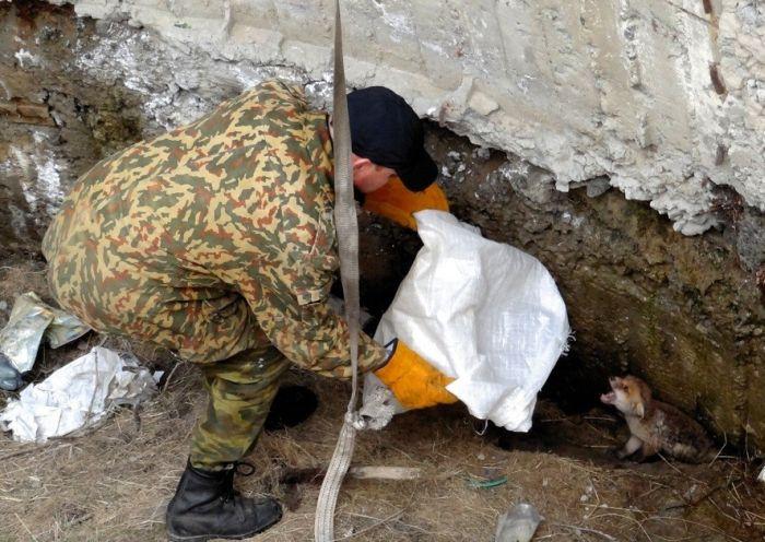Небезразличные люди спасли троих маленьких лисят (13 фото)