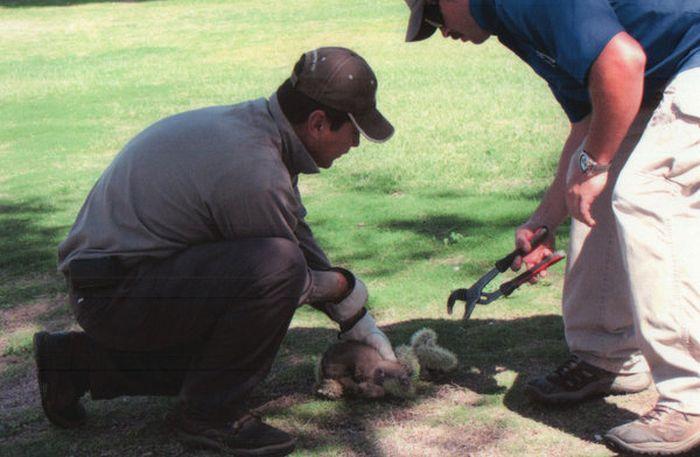 Спасение койота от кактуса (5 фото)