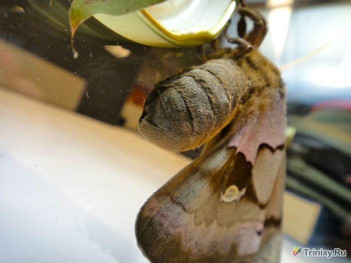Перевоплощение гигантской моли шелкопряда (21 фото)