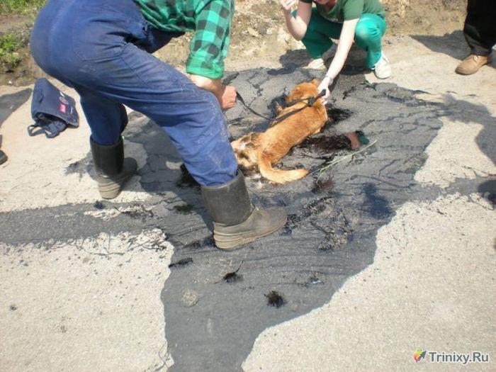 Спасение собаки из расплавившегося асфальта (5 фото)