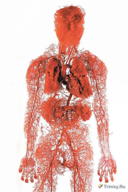 Как создают точную модель кровеносной системы человека (2 фото)