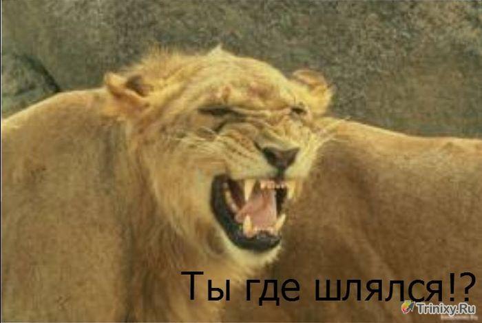 У львов все, как у людей (4 фото)