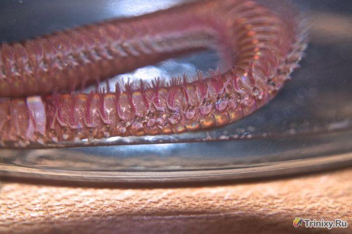 Необычный червь из домашнего аквариума (21 фото)