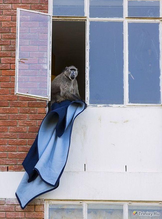 Мстительные бабуины не любят людей (4 фото)