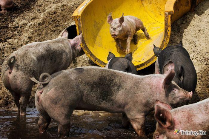 Необычный аттракцион на ферме в Голландии (4 фото)