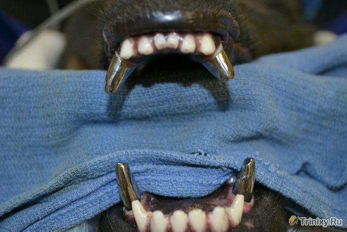 Титановые клыки для полицейских собак (7 фото)