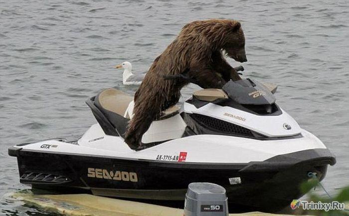 Медведь на водном мотоцикле (5 фото)