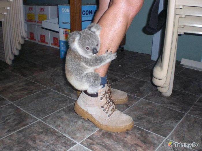 Необычные факты о коалах (16 фото)
