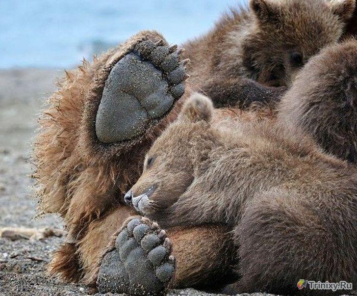 Познавательно о медведях (7 фото)