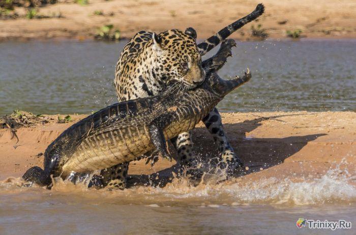 Необычная схватка ягуара и аллигатора (10 фото)