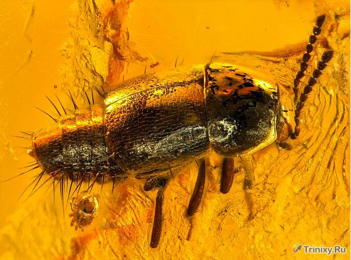 Доисторические насекомые, идеально сохранившиеся до наших дней (34 фото)