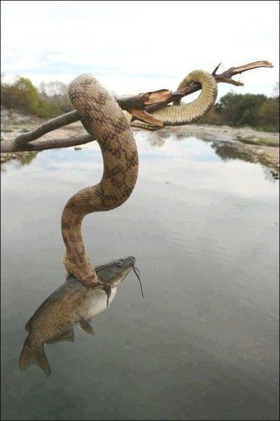 Yılan'ın Balık Avı