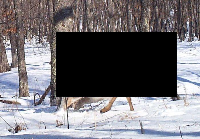 Хищный золотой орёл против оленя (7 фото)