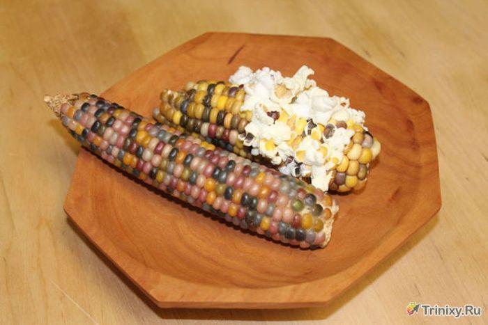 Необычный сорт кукурузы (11 фото)