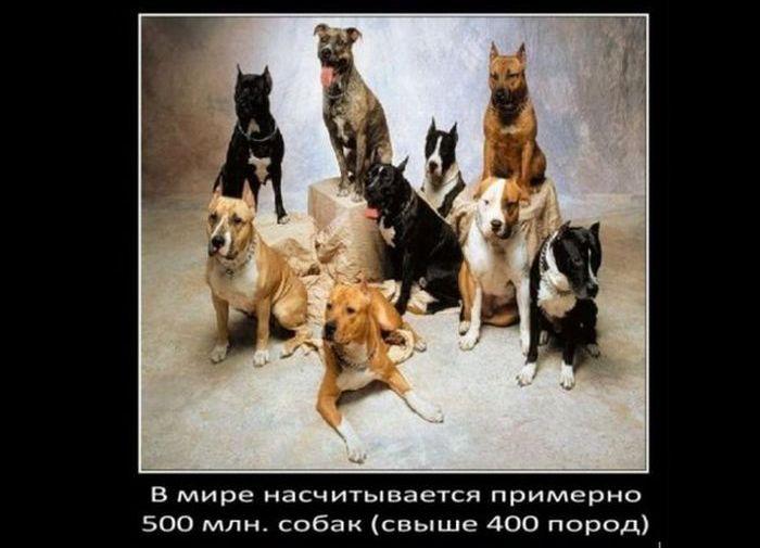 А знаете ли вы: интересные факты о собаках (13 фото)