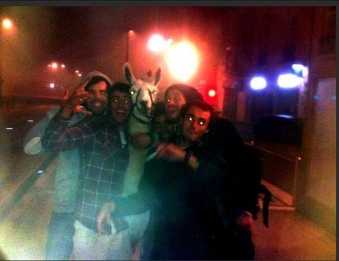 Пьяные студенты похитили ламу из цирка (5 фото + видео)