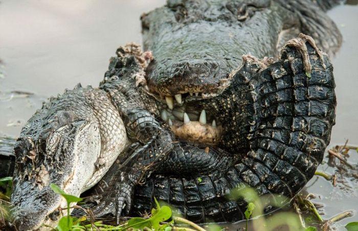 Трапеза аллигатора-каннибала (6 фото)