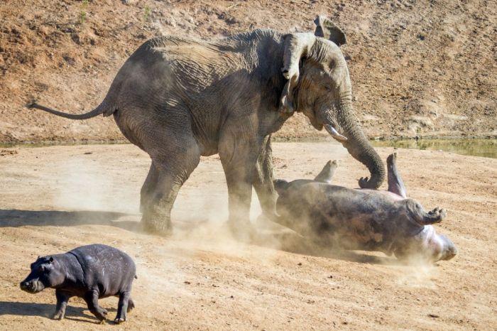 Разбушевавшийся слон против бегемота (10 фото)